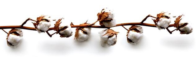 Coton biologique sans OGM